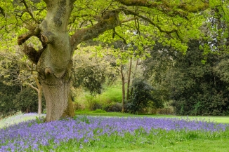 Bluebells in the gardens