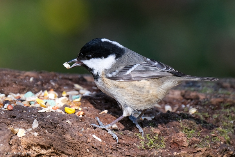 Coal Tit (Periparus ater) taking bird food from a tree stumo.