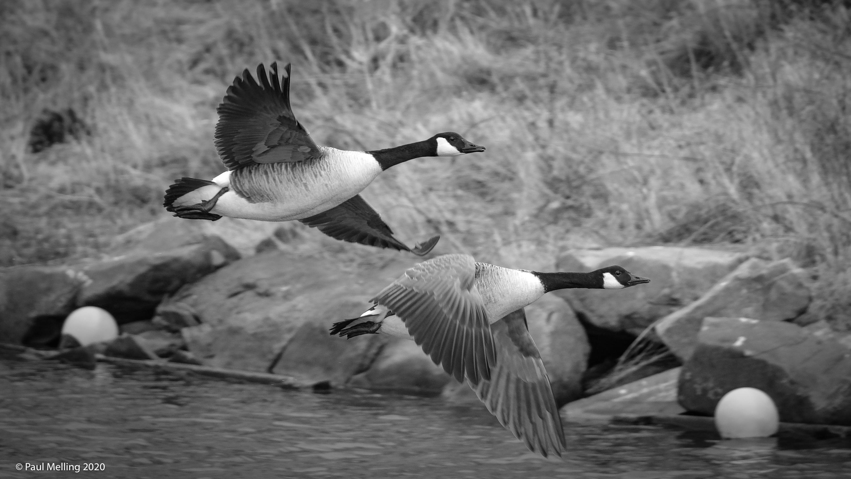Birds Lytham-1390