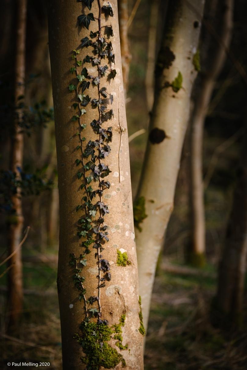 Ivy climbing up a tree trunk